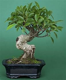 die 5 besten indoor bonsai f 252 r einsteiger