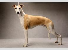 TOSH THE WIPPET Westminster?s Best of Breed   Photographs