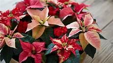 weihnachtsstern pflanze pflege weihnachtsstern pflege so bl 252 ht die poinsettie im ganzen