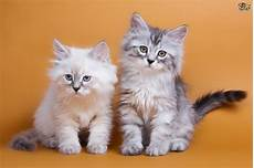cat breed siberian cat breed facts highlights buying advice