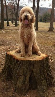 types of goldendoodle haircuts google search pretty types of goldendoodle haircuts google search goldendoodle google haircuts