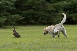 Stop Dog Chasing  DogTrainingSuggestionscom