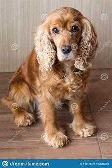 rothaariger hund cocker spaniel mit den traurigen und