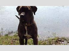 Mastino Napoletano / American Staffordshire Terrier Mix