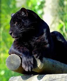 Photo Jaguar Noir