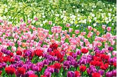 Wann Tulpen Pflanzen Tulpen Pflanzen Wann Ist Der Beste
