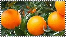 Orangen Frisch Nach Hause - unbehandelte orangen kaufen frisch nach hause
