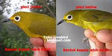 Gambar Burung Pleci Jantan Dan Betina Yang Benar Dan Jitu
