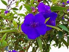 flor emblematica del estado trujillo venezuela 301 best images about venezuela flora y fauna on pinterest ecuador trinidad and animales