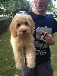 types of goldendoodle haircuts google search pretty types of goldendoodle haircuts google search golden doodles doodles golden