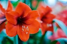 fiori bulbo amaryllis un bulbo semplice da coltivare