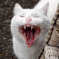 une martre peut tuer un chat quel animal peut tuer un chat
