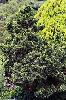 arbustes nains pour rocaille chamaecyparis obtusa nana gracilis plantes ext 233 rieures