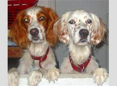 Dogs Info: English Setter White and Brown