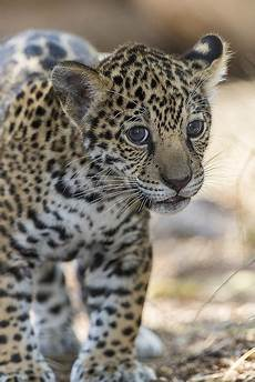 what is a jaguar called jaguar cub fact there are four big cats in