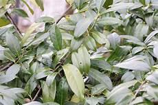 kirschlorbeer braune blätter kirschlorbeer bekommt braune bl 228 tter 10 schritte die