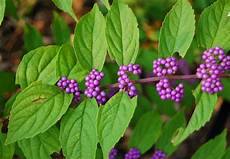 Strauch Mit Lila Beeren - crabapple landscapexperts match your football team colors