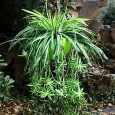 Artificiel Soie Plante Araign 233 E Fleur Bouture Chlorophytum