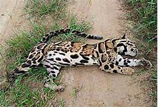 quasimodo malvorlagen hari ini harimau dahan mati dijerat ditemui di gerik astro awani