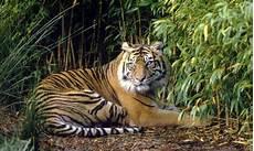Fakta Harimau Sumatra Yang Terkecil Dari Semua Jenis