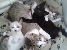 kittens for sale kittens for sale plymouth pets4homes