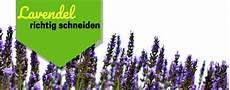 ᐅ Lavendel Schneiden 2019 Wann Wieviel Eine Anleitung