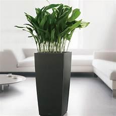 aspidistra cast iron plant indoor flower pots herb