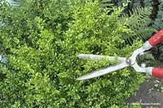 wann buchsbaum schneiden buchsbaum schneiden wann ist der beste zeitpunkt