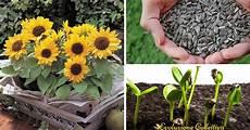 significato girasole nel linguaggio dei fiori girasole significato coltivazione e cura evoluzione
