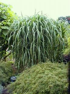 gräser im garten als sichtschutz riesen chinaschilf als sichtschutz f 252 r garten terrasse