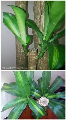 Plant Of The Month Dracaena Fragrans Corn Plant