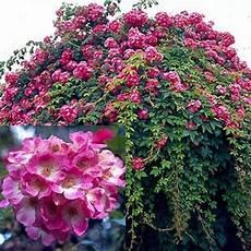 rosier liane sans epine rosier liane sans 233 pine ou presque american pillar