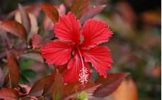 Hibiscus Flower Backgrounds