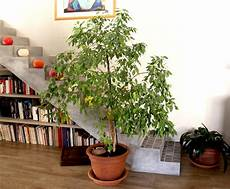 Ficus Planter Et Tailler Ooreka