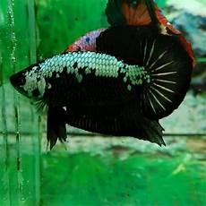 Ikan Cupang Panda Hobi Mancing