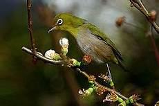 Gambar Burung Pleci Tarung Jago