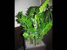 How To Grow Zz Plant Care Tips Zamioculcas Zamiifolia