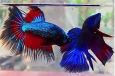 Mengapa Ikan Cupang Agresif Dan Suka Bertarung Gerava