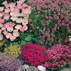sukkulenten winterhart kaufen steingarten kollektion 18 st 252 ck gr 252 ne oase plants