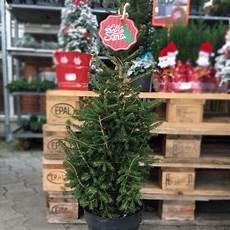 santa charmanter weihnachtsbaum im topf o du