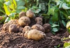 kartoffeln d 252 ngen experten tipps zur richtigen d 252 ngung