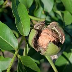 walnussbaum walnuss pflanzen pflege und schneiden