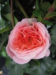 Kletterrose Rosa Pirouette 174 Apricot Duft 50cm Diese