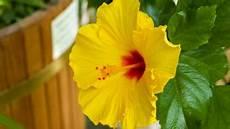 hibiskus oder eibisch hibiscus standort pflege und