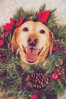 17 best images about christmas card ideas pinterest dog holidays and labradors