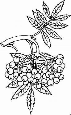 Ausmalbilder Pflanzen Blumen Pflanze Mit Vielen Beeren Ausmalbild Malvorlage Blumen