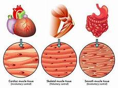 different types of muscle tissue core fitness nutrition