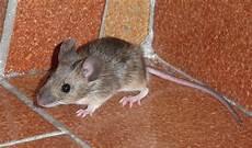 Maus Im Haus Foto Bild Tiere Wildlife S 228 Ugetiere
