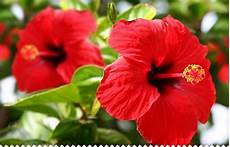 Hibiscus Rosa Sinensis Planter Entretenir Avec Jaime
