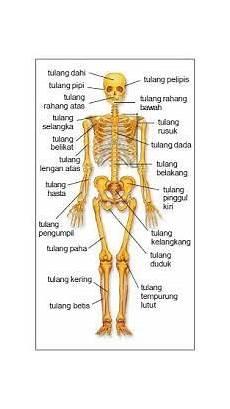 Bagaimana Sistem Kerja Rangka Pada Manusia Anatomi